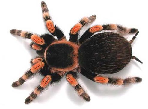 tarantula-pictures_1.jpg