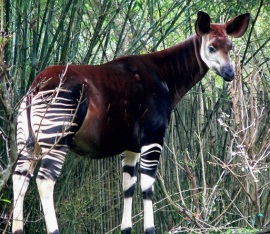 I'm so disgusted with Nancy Pelosi that I can't tolerate seeing her face on the blog, so I'm posting a picture of one of my favorite animals, an Okapi...which would, by the way, be a likely improvement in over Pelosi.in Congress.