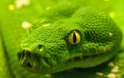 green_anaconda