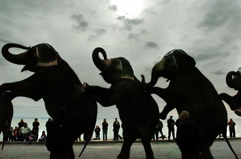 Elephants from the Ringling Bro. and Barnum and Bailey Circus perform a nine-trunk salute.