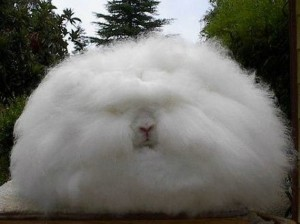I can't bear posting another picture of Trump, so here is an Angora rabbit...