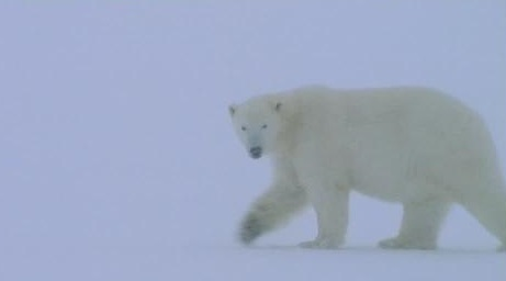 Polar bear snowstorm