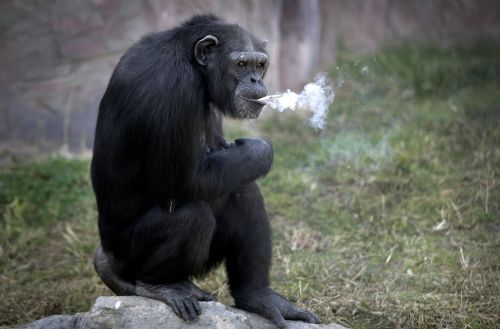 smoking-chimp