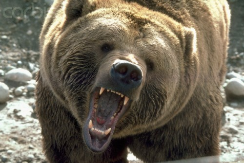 1984, Washington State, USA --- A fierce bear growls and bares its teeth.   Location: Washington, USA.  --- Image by © Michael T. Sedam/CORBIS