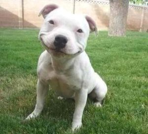 The Pitbull is amused. He's a good sport.