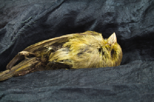 dead canary