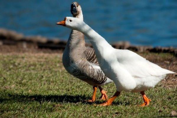 goose-and-gander2