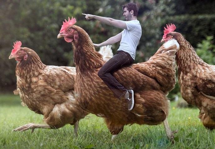 Chickens attack