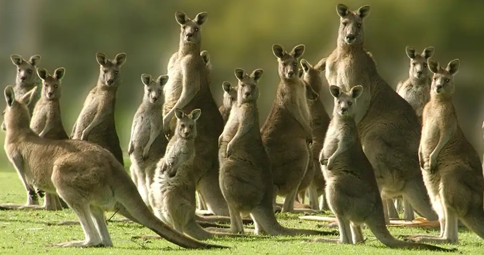 kangaroos jury