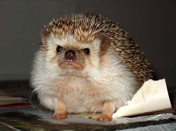 Angry hedgehog