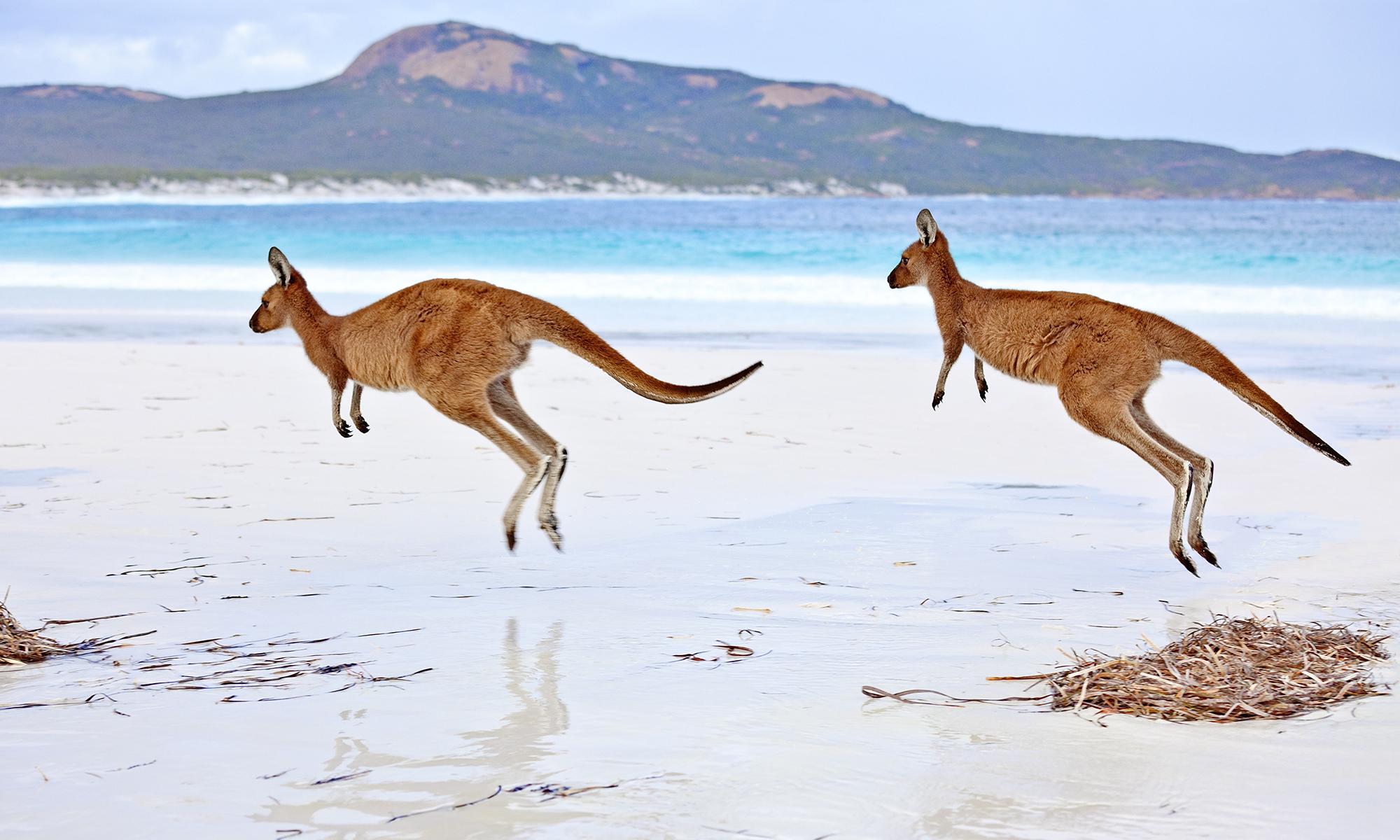 kangaroo-hopping